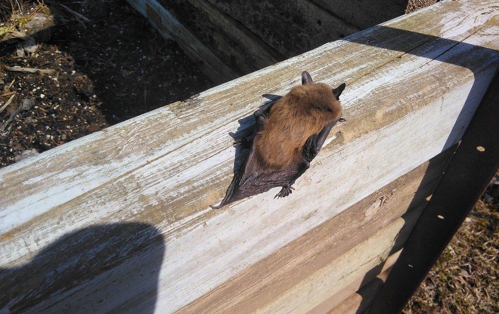 Cincinnati Bat Removal